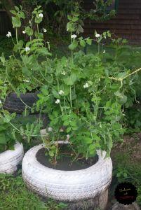 garden sugar snap peas